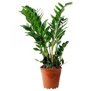 10 комнатных растений, приносящих богатство в дом - Тридевятое Царство